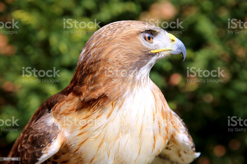 Close up detailed photograph of a red-tailed hawk stock photo