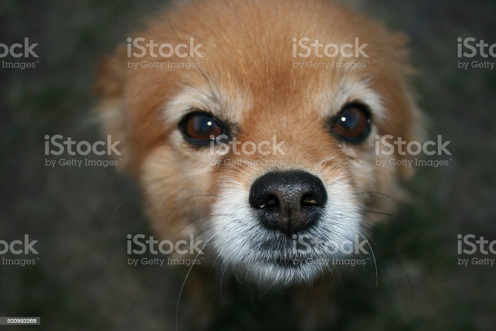 Close up dog face, looking right stock photo