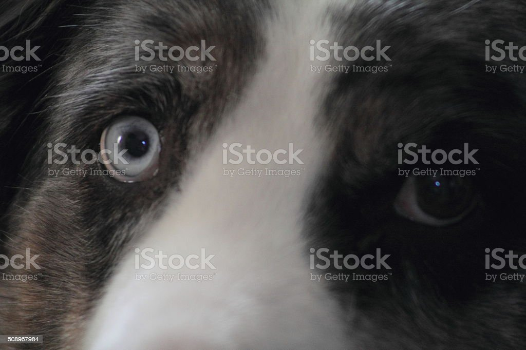 Close up dog's eyes, blue and brown stock photo