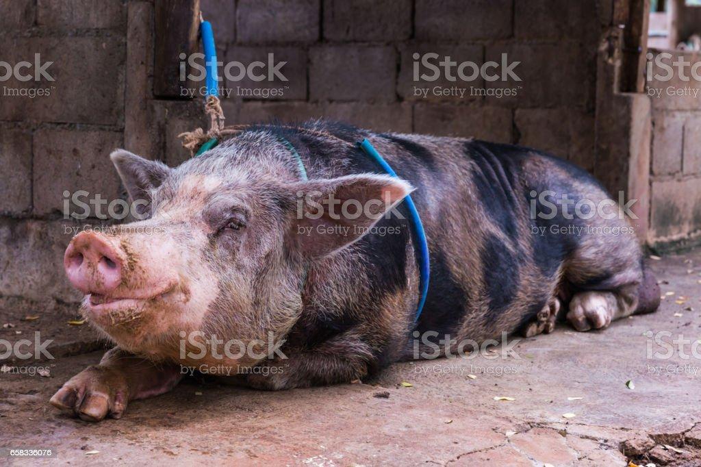 Close up domestic big pig in a farm stock photo