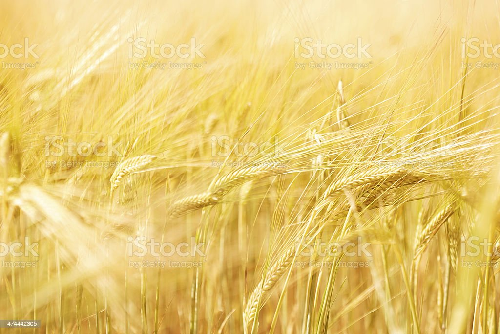 Close up - ears of wheat in field royalty-free stock photo