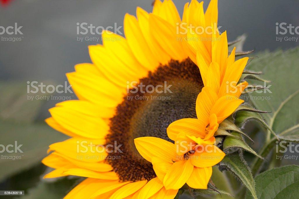 close up einer Sonnenblume stock photo
