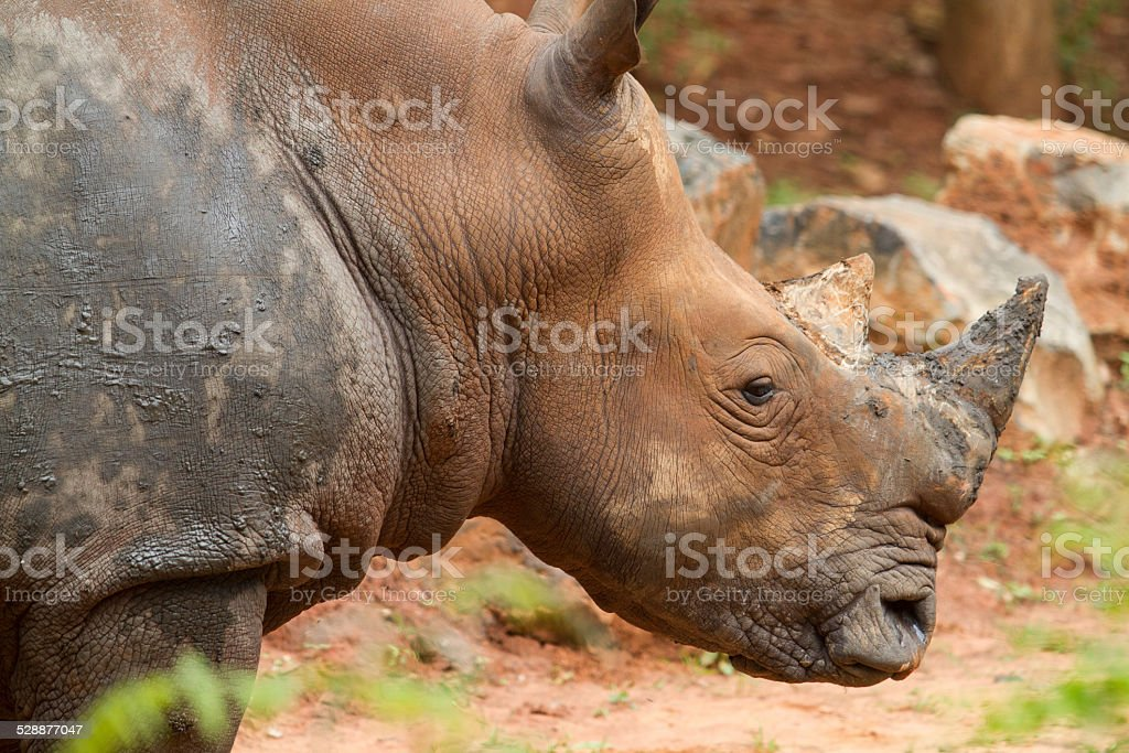 close up endangered white rhino's face,horn and eye. stock photo