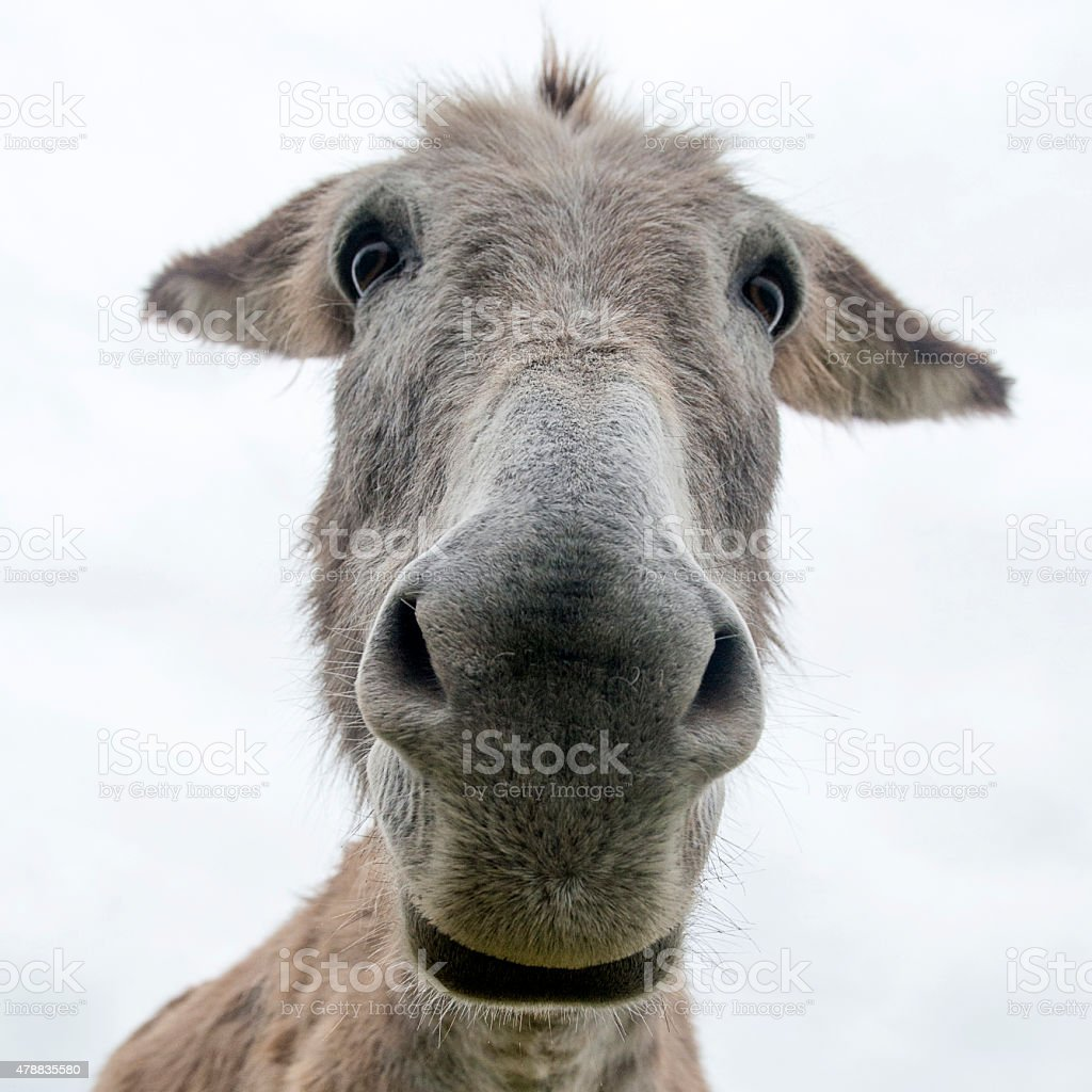 close up face of a donkey stock photo