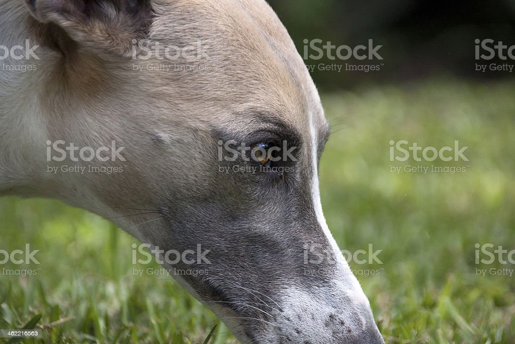 Close Up  Face Of Alert Whippet Smelling Grass royalty-free stock photo
