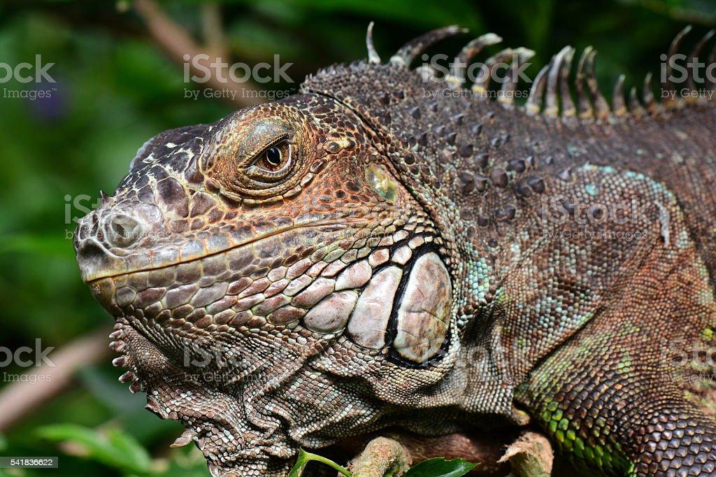 Close up face of an Iguana stock photo