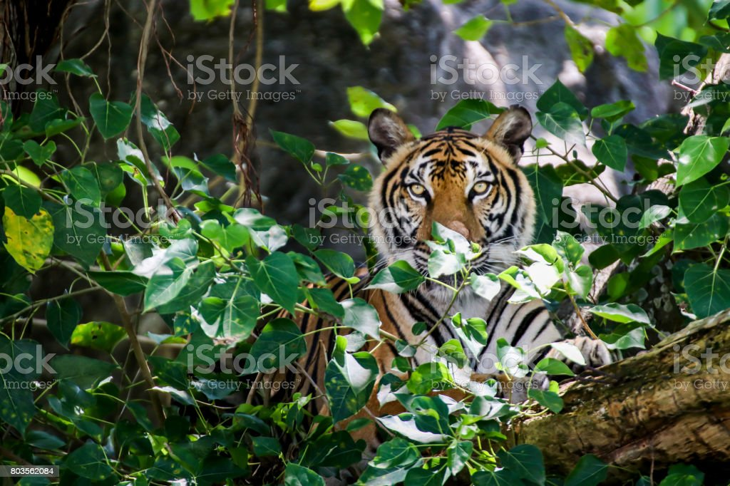 close up face of Bengal tiger looking to camera stock photo
