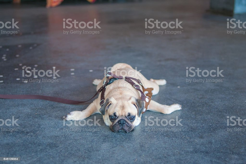 Close up face of Cute pug puppy dog sleeping by chin and tongue lay down on ground marble floors stock photo