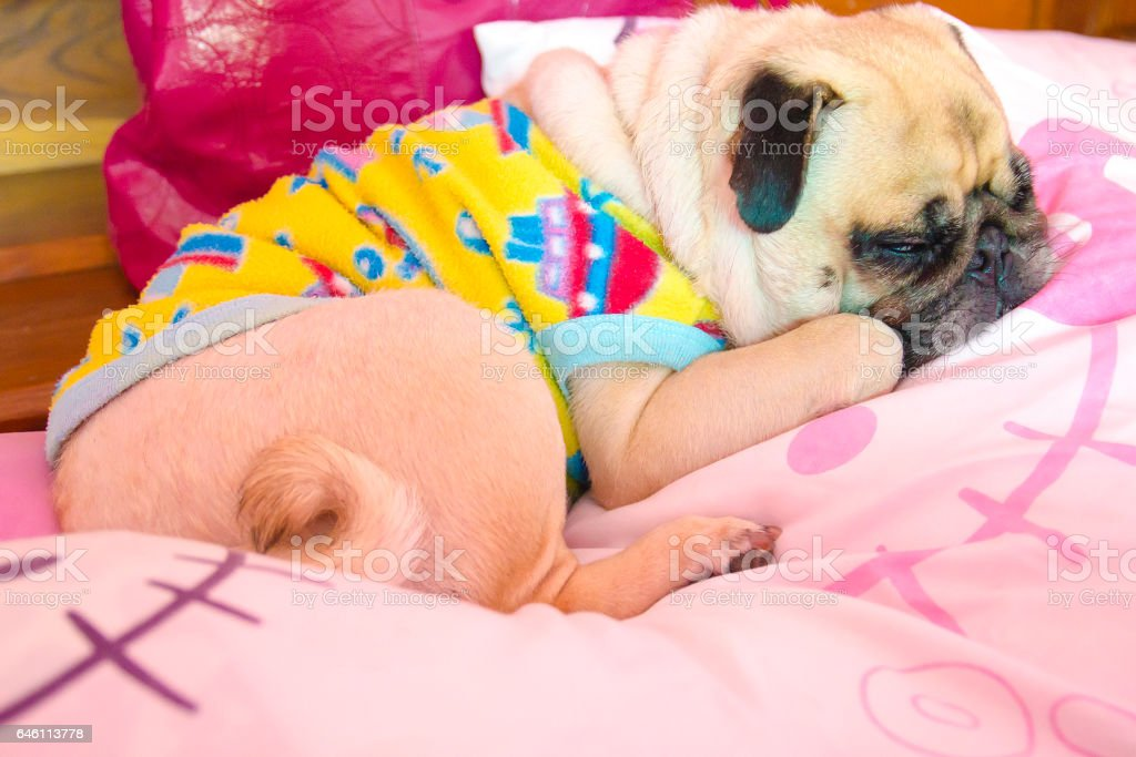 Close up face of Cute pug puppy dog sleeping on the bed in happy time stock photo
