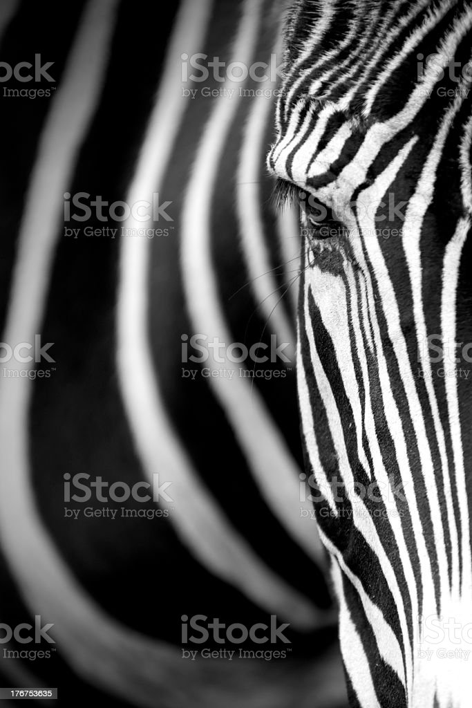 Close up face shot of a Grevy zebra stock photo