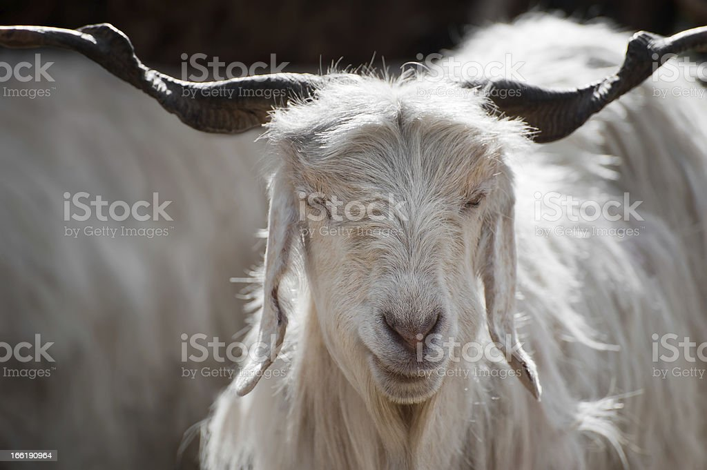 A close up face view of a white Kashmir goat  royalty-free stock photo