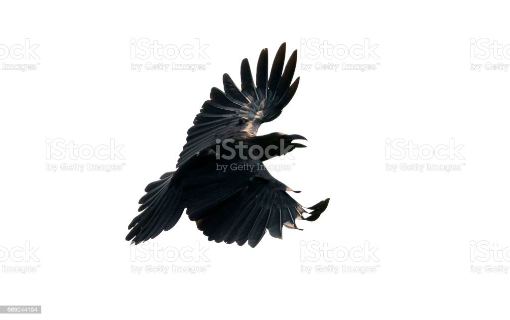 close up feather of black crow flying isolate white background stock photo