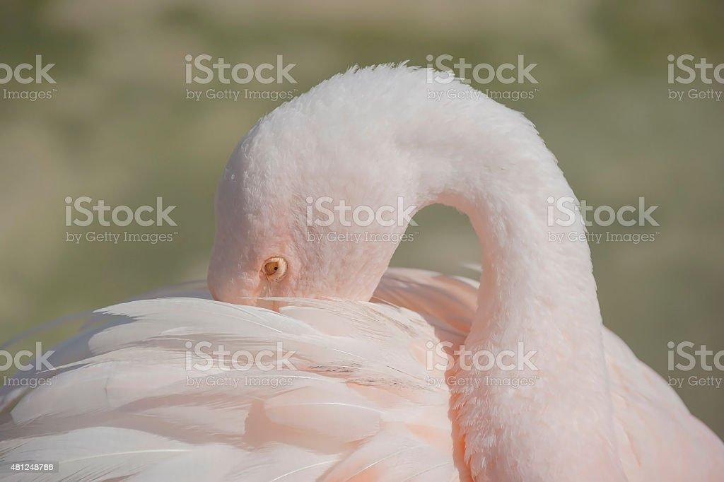 Close up Flamengo Bird stock photo