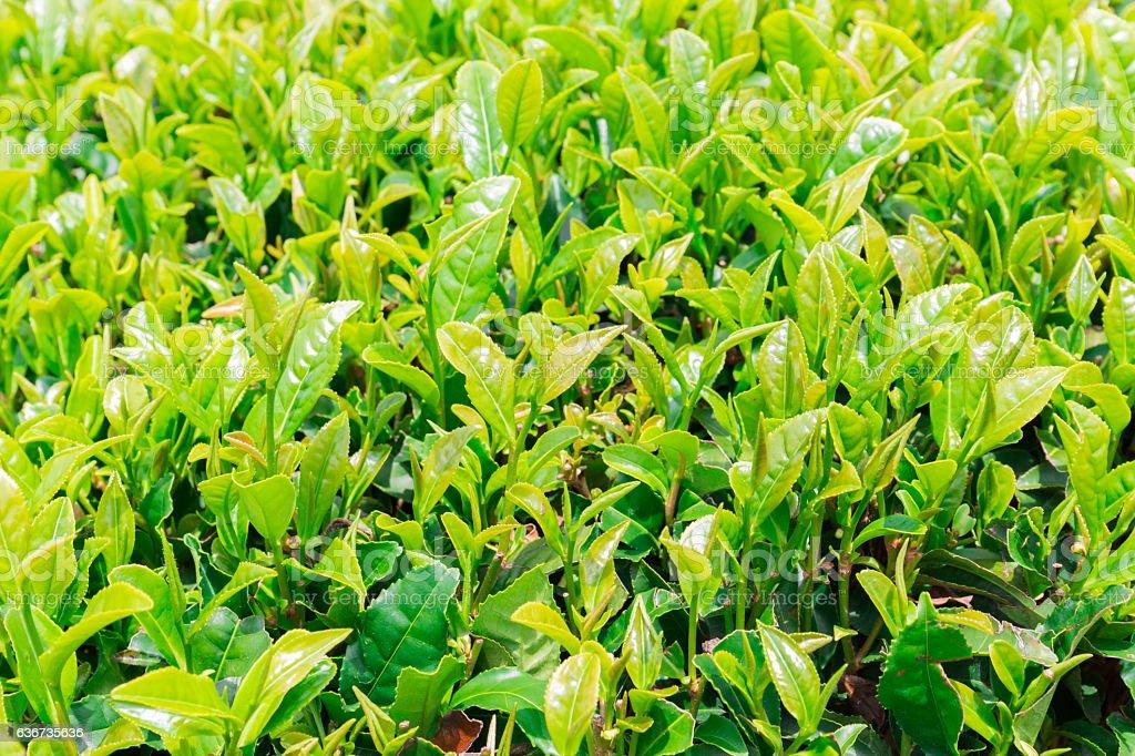 Close up fresh green tea leaves. stock photo