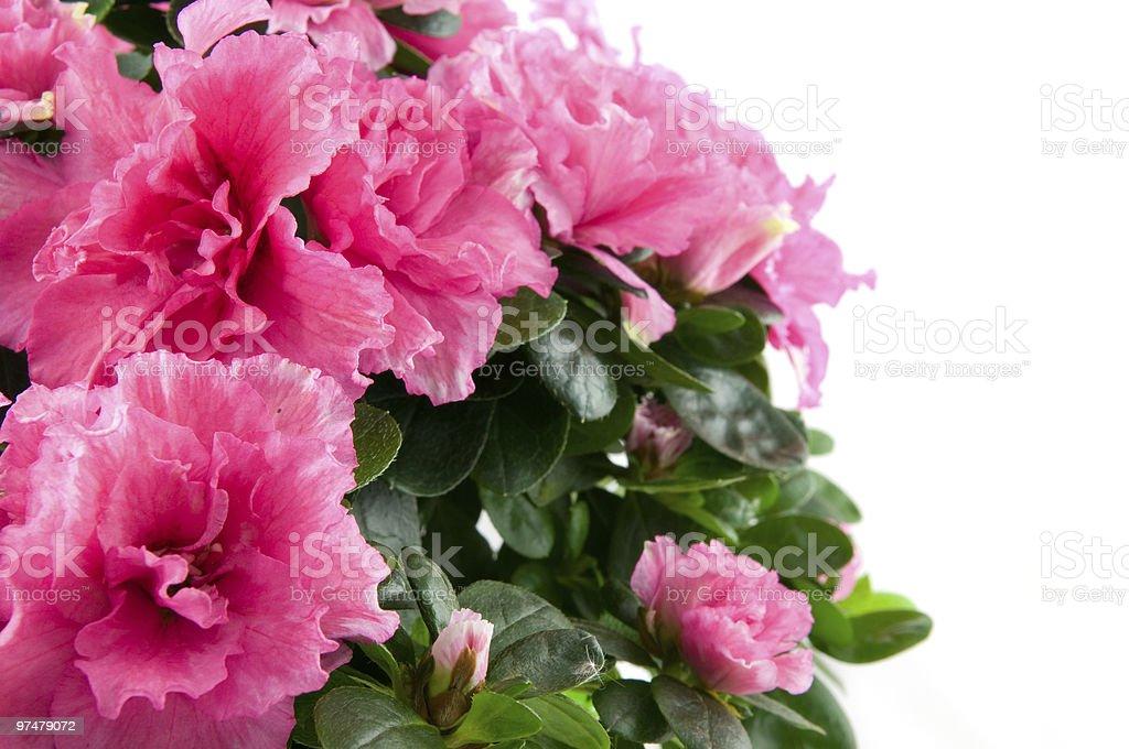 Gros plan sur une rose rose fleur photo libre de droits
