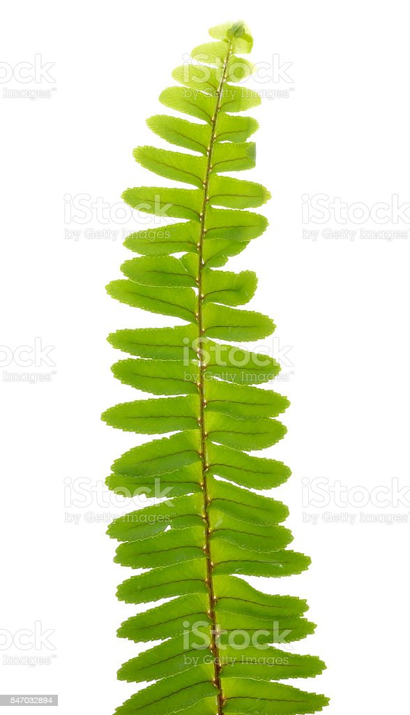 Close up frond leaf fern isolated on white background stock photo