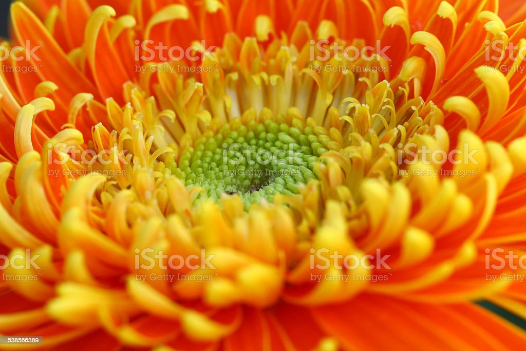 close up gerbera flower in garden stock photo