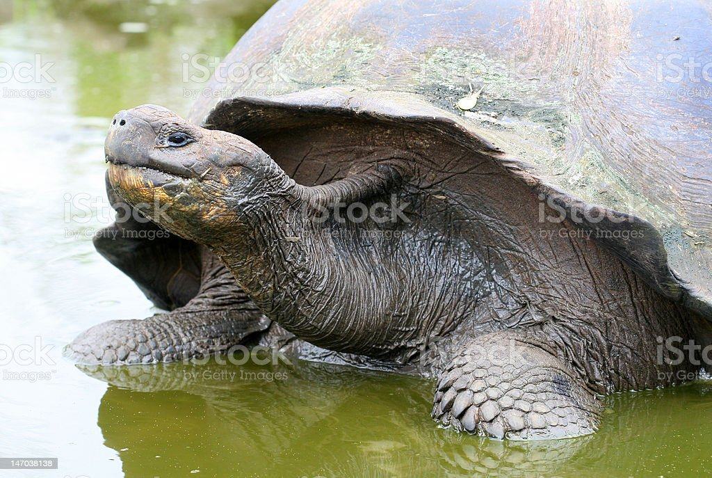 Close up Giant Galapagos Tortoise royalty-free stock photo