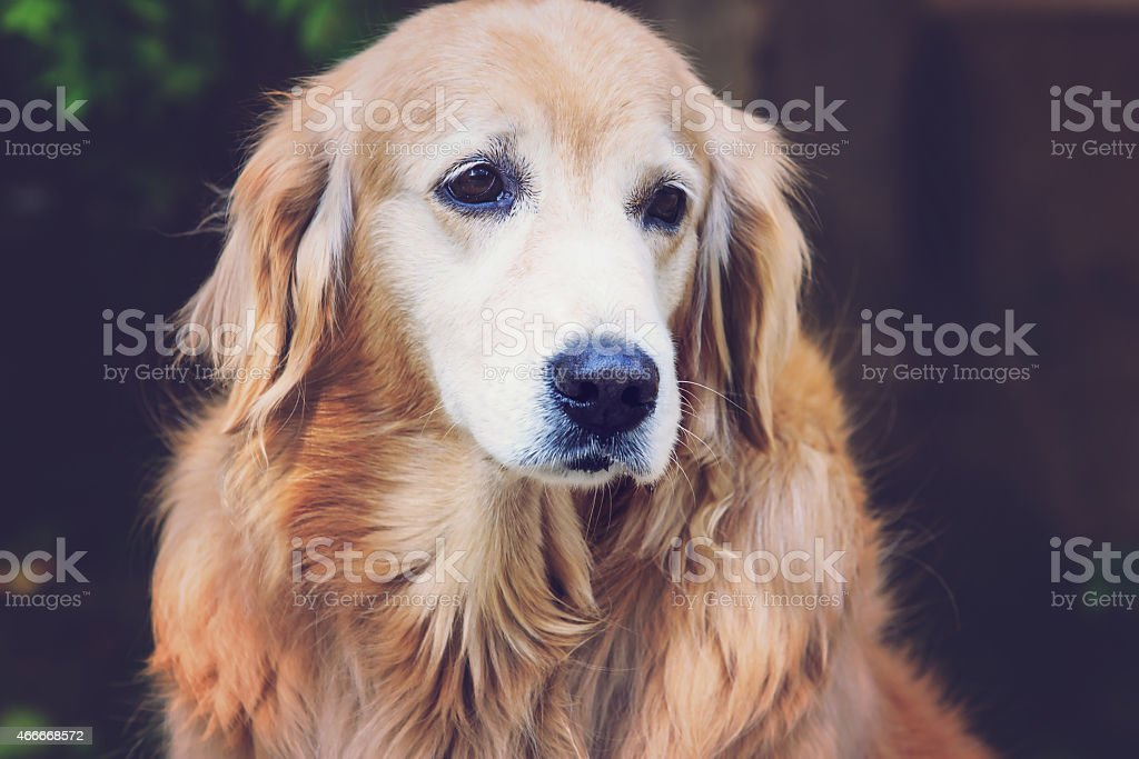 Close up golden retriever with vintage color effect royalty-free stock photo