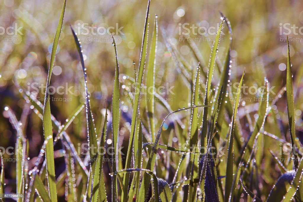 Close up grass with water drops stock photo