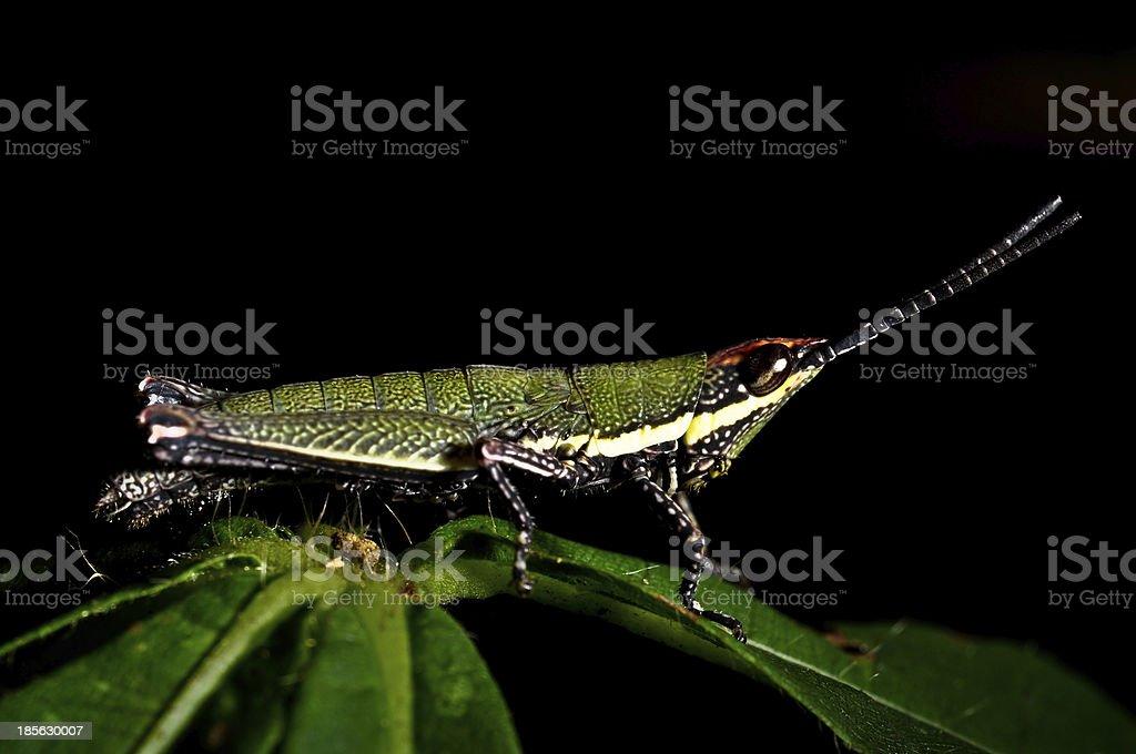 Close up Grasshopper royalty-free stock photo