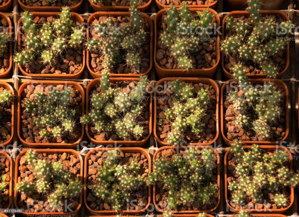 Close up green cactus in a pot stock photo