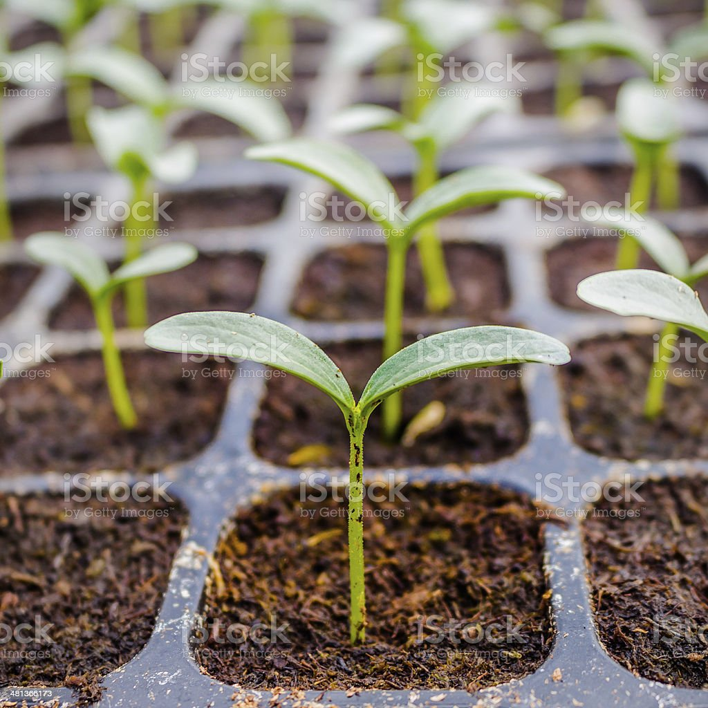 close up green cucumber seedling on greenhouse stock photo