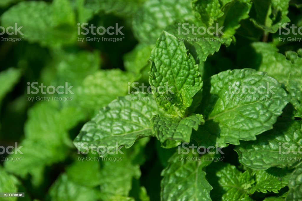 Close up green leaf - Kitchen Mint or Marsh Mint stock photo