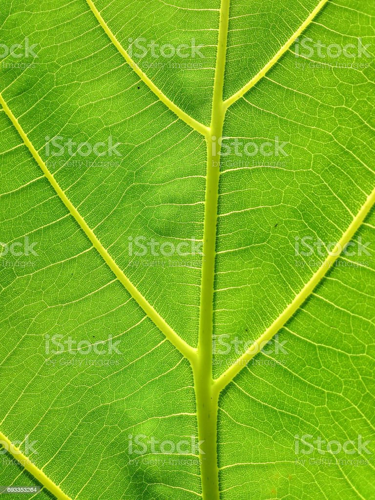close up green leaf texture with sunlight background stock photo