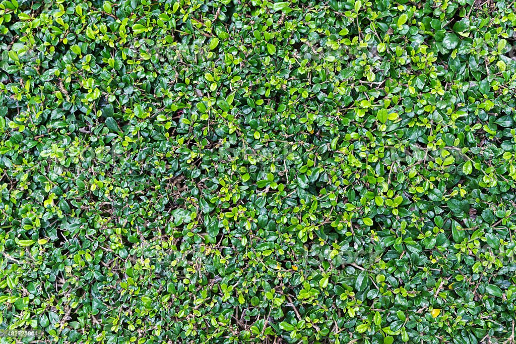 Close up green leaves wall background stock photo