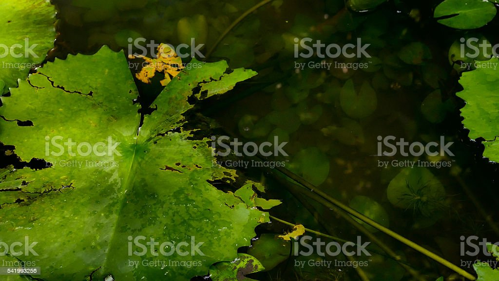 close up green lotus leaf in the swamp stock photo