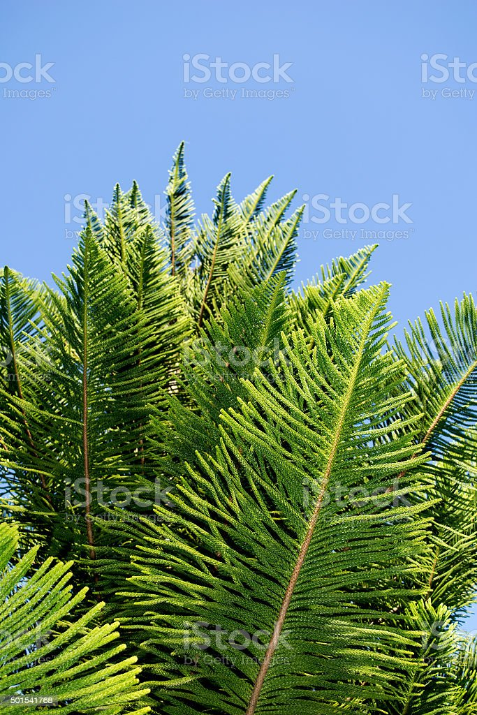 Close up Green Norfolk Island pine leaf stock photo
