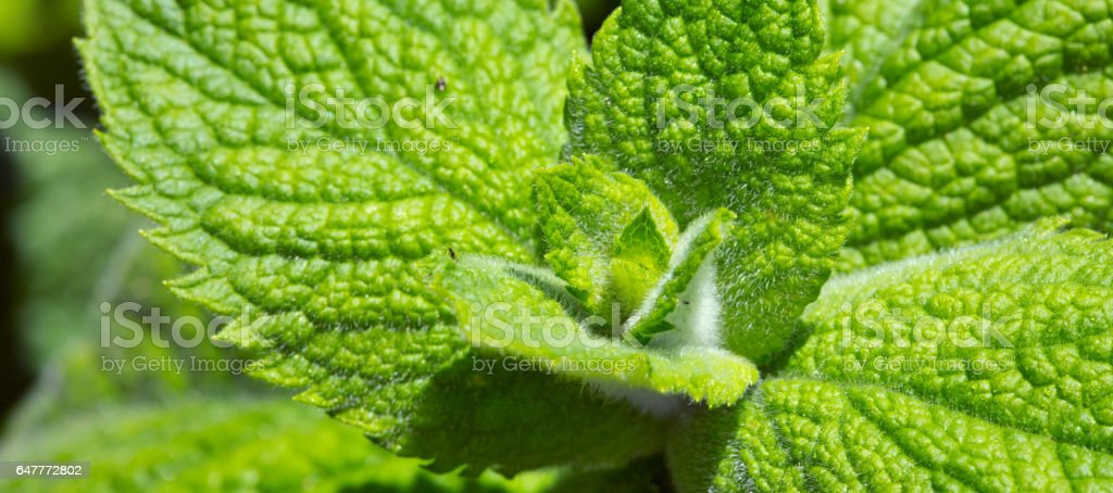 Close up green peppermint leaves stock photo