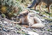 Close up Grey Fox