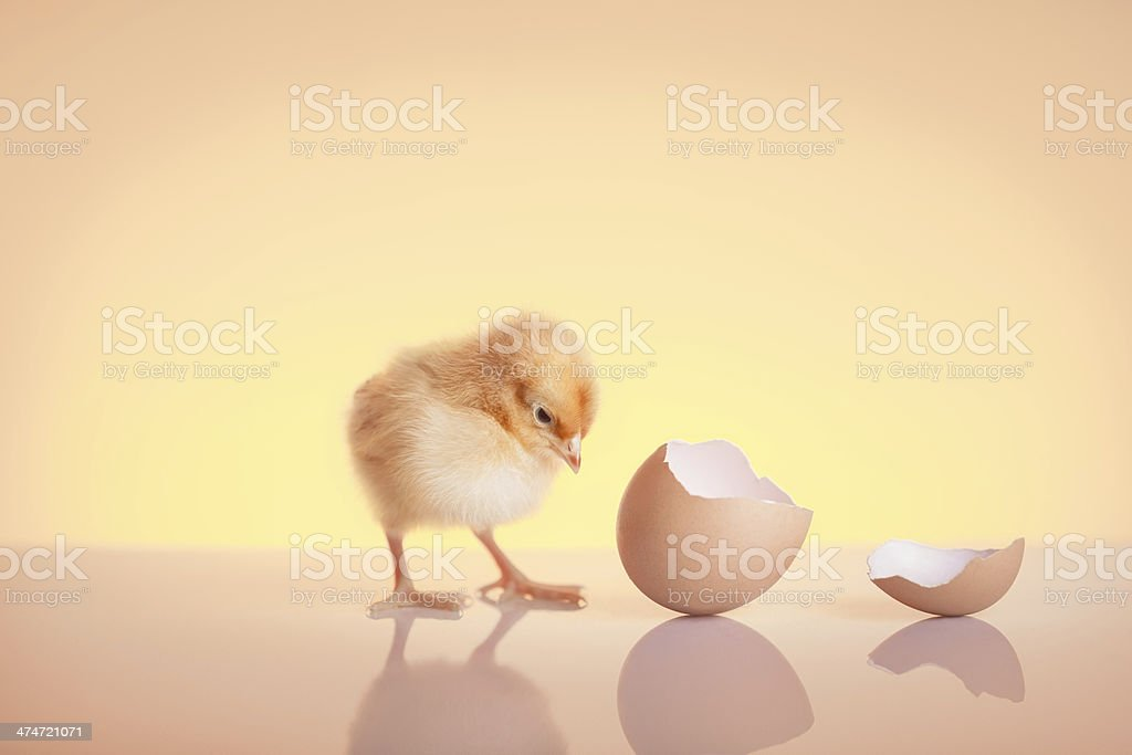Close up hatched small chicken stock photo