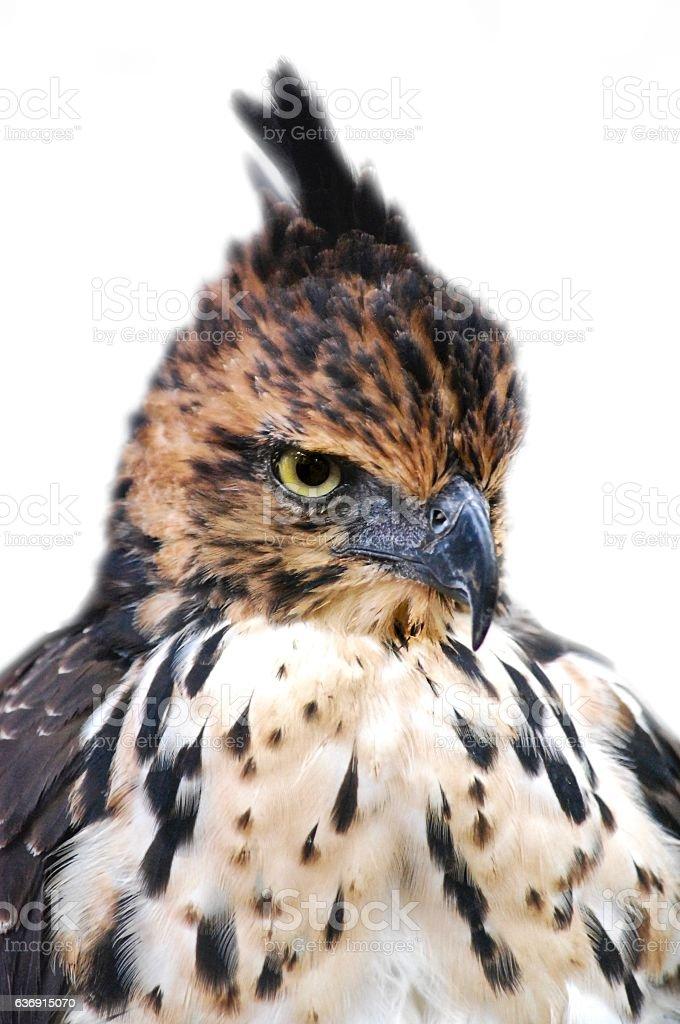 Close up : Hawk's Eyes Isolated on White background stock photo