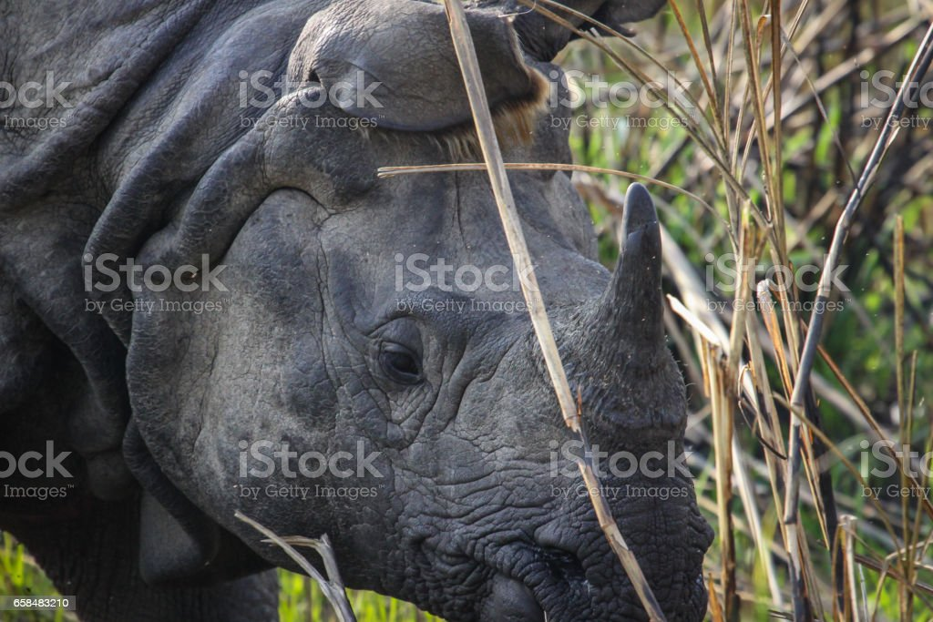 Close up head of an endangered Indian rhinoceros in high grass, Chitwan National Park stock photo