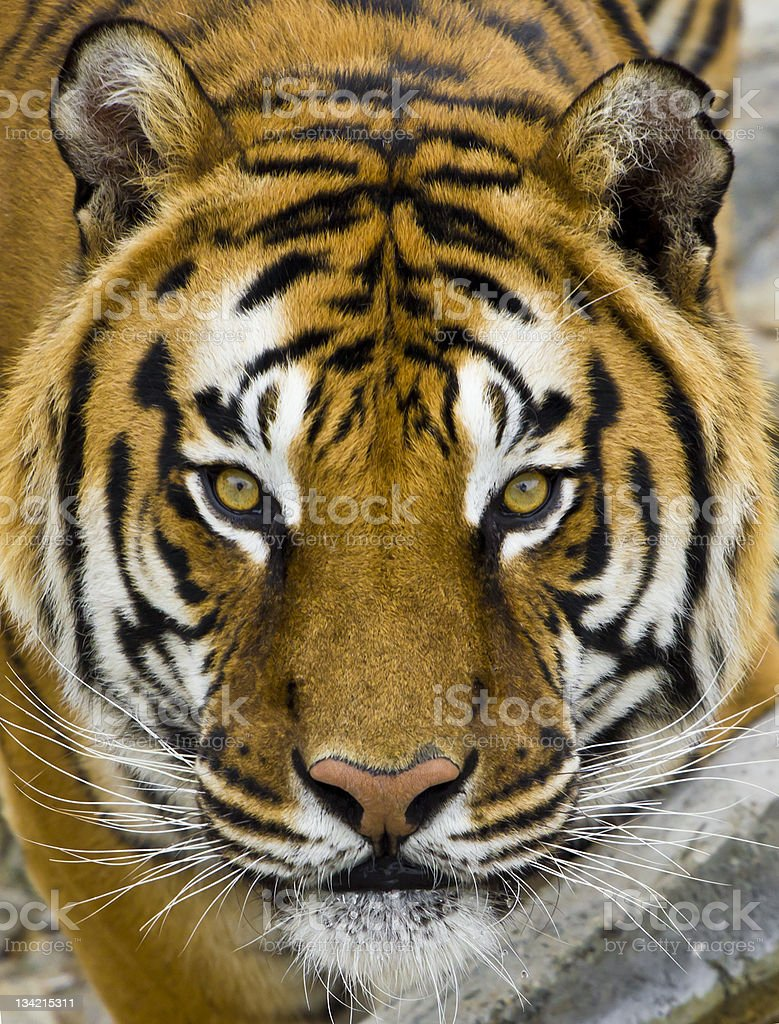 close up head portrait of a tiger stock photo