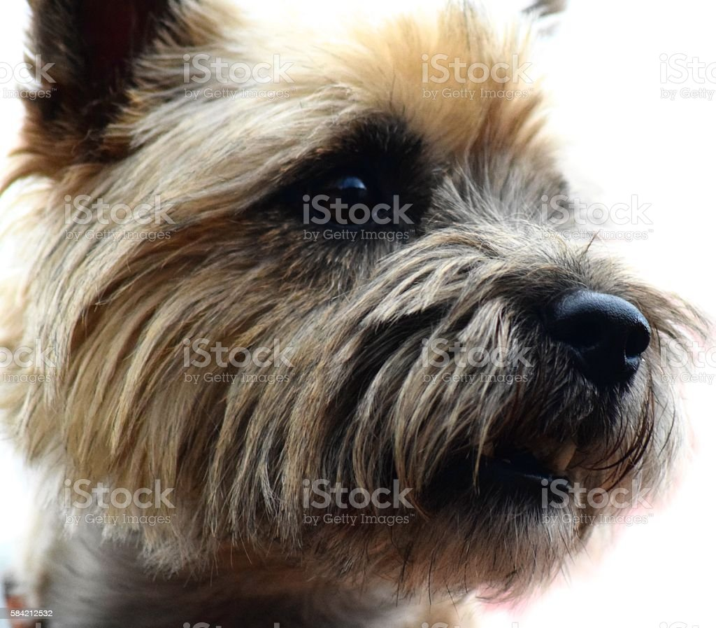 close up head shot long haired terrier dog cute cairn stock photo
