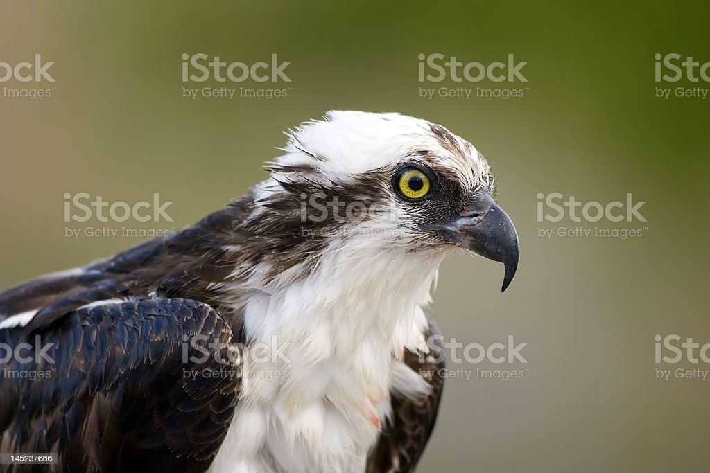 Close up head shot of an Osprey stock photo