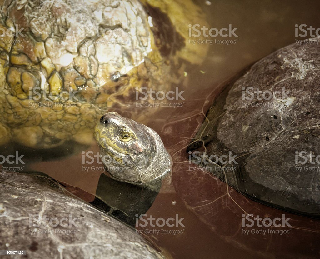 Close up head turtle in the shell stock photo