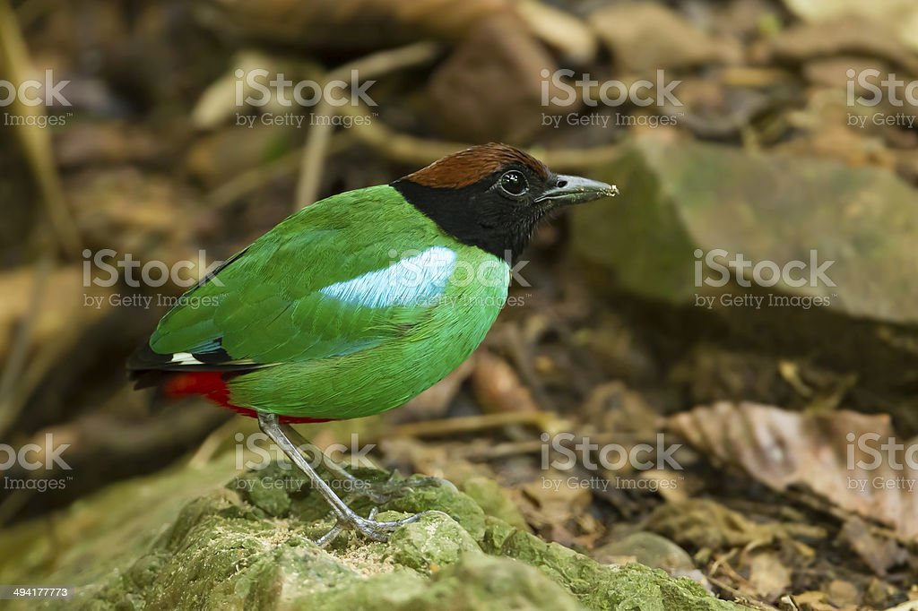 Close up Hooded Pitta stock photo