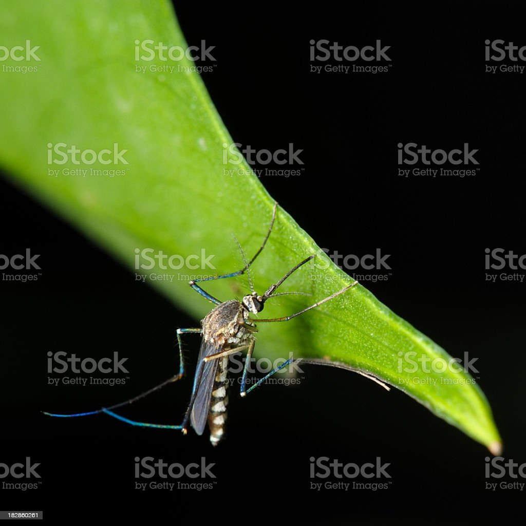 Close up image of a mosquito on a green leaf royalty-free stock photo