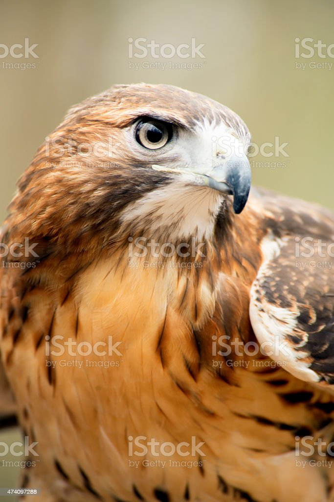 Close up image of a Red Tailed Hawk in rehab. stock photo