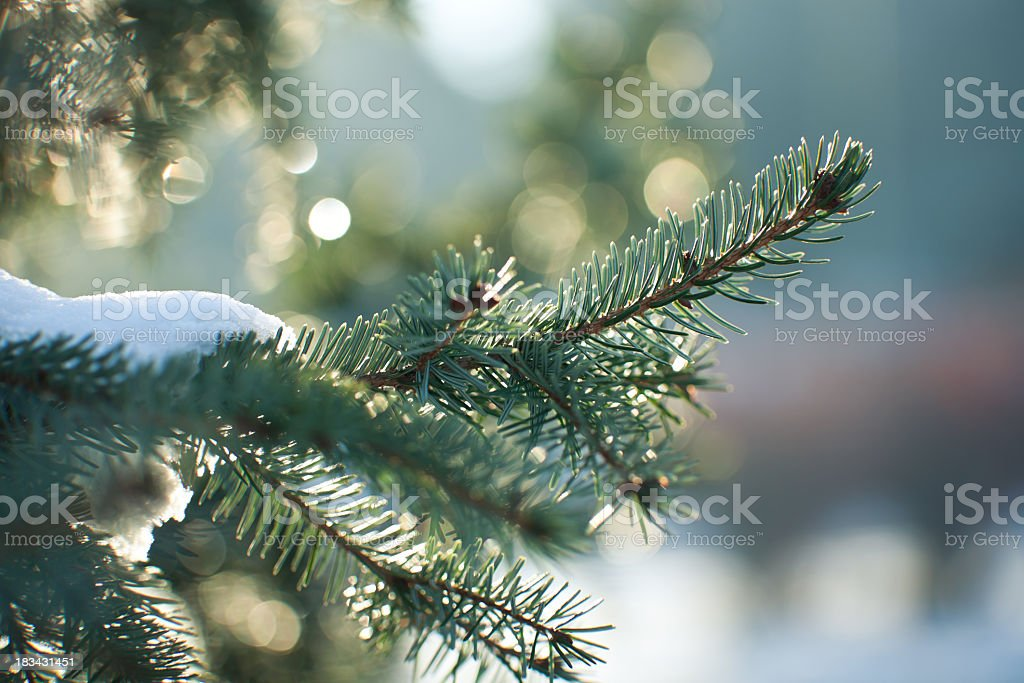 Close up image of a snowy evergreen tree in winter  stock photo
