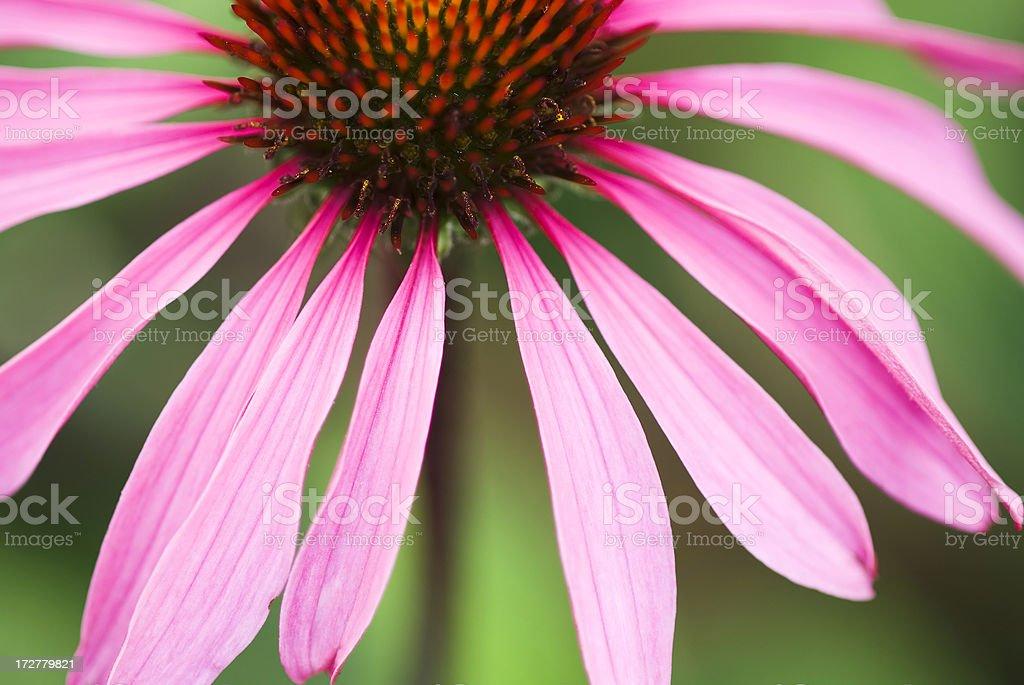 Close up image of Echinacea purpurea flower - I royalty-free stock photo