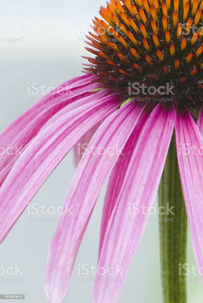 Close up image of Echinacea purpurea flower - II royalty-free stock photo