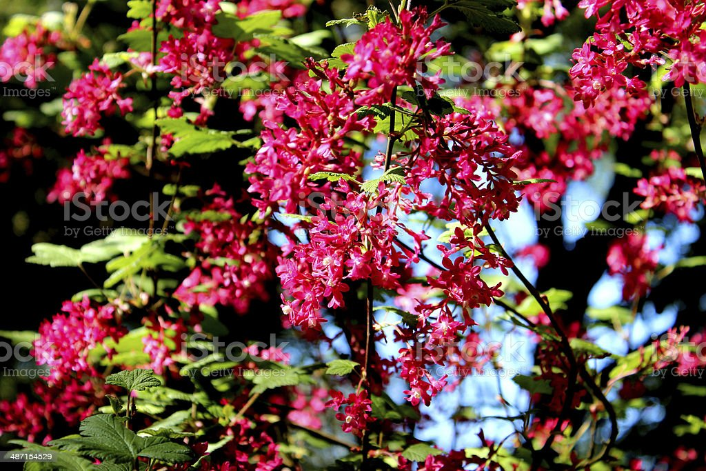 Close up image of flowering redcurrant (ribes rubrum) in garden stock photo