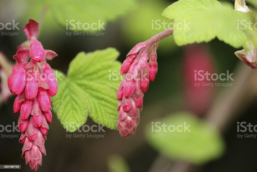 Close up image of flowering redcurrant (ribes rubrum) stock photo