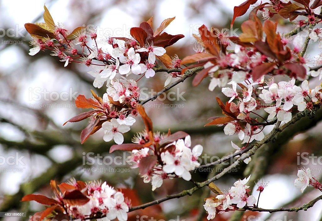 Close up image of purple leafed flowering cherry plum tree stock photo